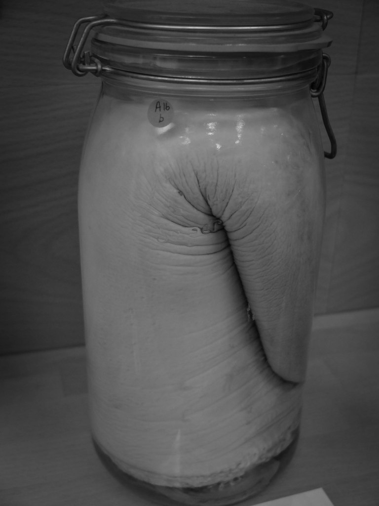 Ouch! One of the many artefacts at the Penis Museum in Reyjavik